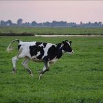 Het op je heupen krijgen - cow having a moment